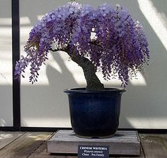 bonsai wysteria  from a wysteria cutting ... matt and i are going to try this