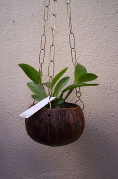 How To Keep Orchids Alive And Looking Gorgeous Orchid Planters, Orchid Pot, Diy Planters, Hanging Planters, Planter Pots, Balcony Plants, Indoor Plants, Coconut Shell Crafts, Mother Plant