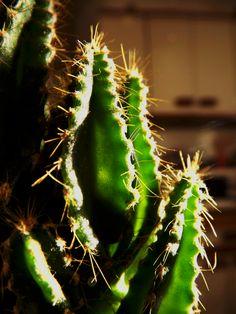 #cactus #épines #thorns