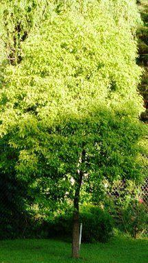 Árbol de Alcanfor: Es un árbol perenne y sus hojas lustrosas de color verde claro se destacan en primavera, pero se mantienen durante todo el año. Toleran todo tipo de temperaturas e incluso fuertes heladas. En otoño algunas de sus hojas toman un color rojizo muy bello y al frotarlas despiden un aroma delicioso.En los brotes nuevos aparecen  pequeñas flores en racimo de color blanco en primavera.