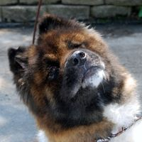 Toli is an adoptable Akita Dog in Indianapolis, IN.  We don't know much about Toli's past other than he was in deplorable shape when picked up as a stray. His hair was dirty and matted, with long nai...