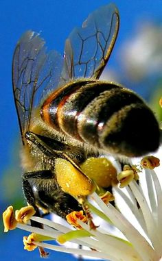Save the bees! No pesticides Beautiful Creatures, Animals Beautiful, Foto Macro, Buzz Bee, I Love Bees, Bee Photo, Bees And Wasps, Bee Pollen, Beautiful Bugs