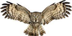 Great Grey Owl (by Jari Peltomäki) : pics