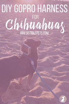 DIY GoPro Harness for Chuy Chihuahua - Irresistible Pets Chihuahua Facts, Taking Dog, Animal Projects, Diy Projects, Dog Ramp, Diy Stuffed Animals, Dog Harness, Dog Friends, Small Dogs