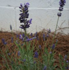 Young Lavender Plant in Bloom
