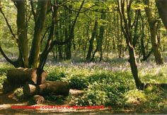 Spring Wood close to my house. Photograph Roy a Higgins.