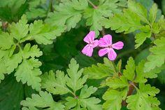 Herbe à Robert  Geranium robertianum ... fait baisser la tension et le sucre dans le sang.