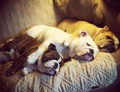 three bulldogs sleeping together