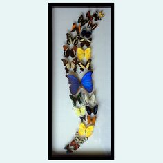 Real Butterfly Art Collection with Blue Morpho in Black Display.