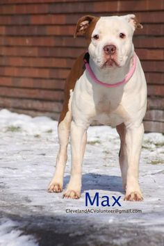 RETURNED TO OWNER!  Meet Max, a Petfinder adoptable Pit Bull Terrier Dog | Cleveland, OH | Adopt Me!Email: ClevelandACVolunteer@gmail.comK108: Max is a 2 y.o., 52 lb. maleHeartworm...