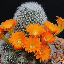Flowering Cactus, Rebutia muscula, found in Argentina. Photo by Mike Keeling at flickr