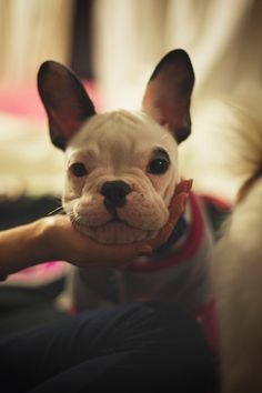 'What a Face!', adorable French Bulldog Puppy.
