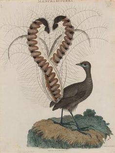 Lyrebird <3 What Is A Bird, Native Australians, Australia Animals, Paper Animals, Australian Birds, Animal Design, Bird Art, Bird Feathers, Vintage Images