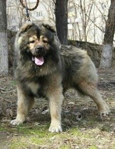 The best Russian dog breed Caucasian Shepherd is well known for protecting his owner and his property. Russian Dog Breeds, Russian Bear Dog, Big Dogs, Large Dogs, Dogs And Puppies, Giant Dogs, Doggies, Dutch Shepherd Dog, Animals