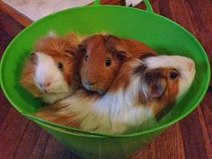 What you should know before taking your #guineapig or pigs outside now that spring is finally here. Hint: This photo is not how you should transport them! :)