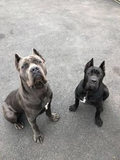 Trained Cane Corsos Personal & Family Protection Dogs for Sale Uk Dogs For Sale Uk, Cane Corso For Sale, Pitbull Puppies For Sale, Cane Corso Dog, Animal House, Puppy Love, Dachshund, French Bulldog, Pitbulls