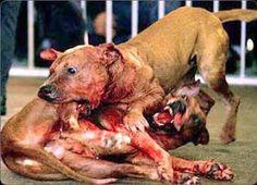 Resultado de imagen para peleas de perros