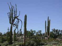 Fouquieria columnaris, Pachycereus pringlei | Cataviña, Baja California, Mexico