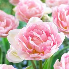 Double Late Tulip Bulbs Angelique | Tulipa | Large Healthy Bulbs for the Biggest Blooms