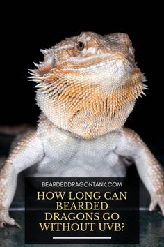 If you have owned a bearded dragon before you will know how important UV light is for their health. But pet owners want to know how long can bearded dragons Bearded Dragon Tank Setup, Bearded Dragon Lighting, Bearded Dragon Food, Bearded Dragon Enclosure, Bearded Dragon Habitat, Bearded Dragon Substrate, Dragon Facts, Cute Dragons, Lizards