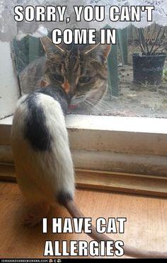 the rat has cat allergies!