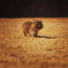 """""""Tiny little kitty cat,"""" by Andreas Jansrud, via 500px -- """"This [totally adorable] little caracal kitten is out adventuring for the first time."""""""