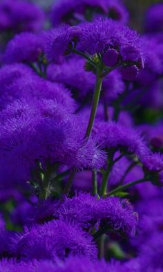 violet flowers wedding, home decor garden, small types of purple flower names plants pictures of dark light royal flowers The Purple, All Things Purple, Shades Of Purple, Purple Stuff, Deep Purple Color, Soft Purple, Purple Plants, Purple Flowers, Flora Flowers