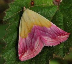 Eublemma-purpurina-2.jpg (554×493)