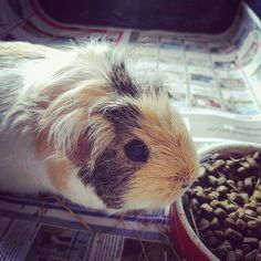 Effie is just chilling while I clean her out #guineapig #pets #cute