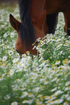 the horse is coming through the daisies