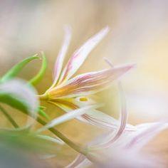 A little tulip by Anna Omiotek-Tott, soft colours, beautiful stripes
