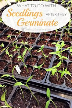 Wondering how to care for seedlings after they sprout? This post will show you exactly what to do with seedlings once they start growing.