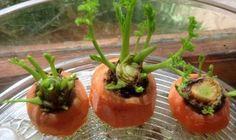 Wie werden Karotten zu Hause gezüchtet? - Besser Gesund Leben