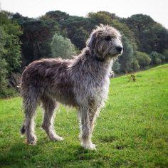 Irish Wolfhound Dog Breed Names, Best Dog Breeds, Irish Wolfhound Dogs, Scottish Deerhound, Tallest Dog, Huge Dogs, Irish Terrier, Military Dogs, Angels