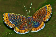 Detritivora cleonus Butterfly God is a God of order! Look at the intricacy of this design, no big bang or evolutionary process did that! What a mighty God we serve! Butterfly Kisses, Butterfly Flowers, Butterfly Wings, Flying Insects, Bugs And Insects, Beautiful Bugs, Beautiful Butterflies, Beautiful Creatures, Animals Beautiful