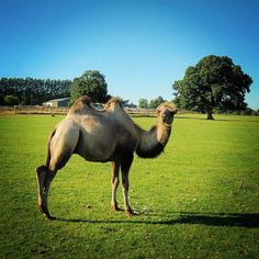 Camel in the park  – Traveller Trapped In A City