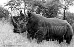 Rhino at Mabalingwe Rhinos, Unicorns, My Eyes, Africa, World, Nature, Animals, Beautiful, Naturaleza