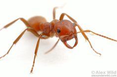 Polyergus mexicanus é uma formiga parasita comum do campo da formiga Formica subsericea na América do Norte central. Champaign, Illinois, USA.