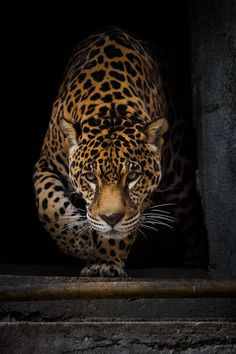 (via 500px / jaguar by Villy)