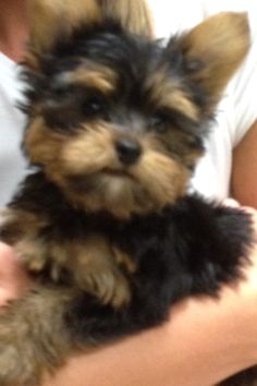 Toy Yorkie Puppy For Sale New York City Mini Yorkshire
