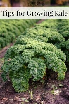 Tips for Growing Kale in Your Garden including how to grow kale from seed, when to plant kale, how to transplant kale, & when and how to harvest kale plants.