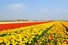 Hillegom, Nederland, bollenstreek  No weekend plans yet? Check out the most beautiful flower bulb fields and blossom cycling routes in Holland!