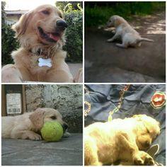 Qué rápido creció esta guagua !! Aslan ya tiene 1 año y 7 meses #dailydog #dog_features #dogaccount #dogsofinstagram #dogsofinstaworld #insta_dog #ilovegolden_retrievers #gloriousgoldens #goldenretriever #goldens_ofinstagram #mydogiscutest #dogscorner #petsofinstagram #welovegoldens #animalpicturecom #lacyandpaws #retrieversgram #mygoldenfeatures #retrieversworld #inthepetspotlights #excellent_dogs #animaladdicts #topdogphoto #dogoftheday #dogs_of_world #weeklyfluff #cutepetclub by…