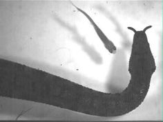 The tentacled snake incites a flight reaction in the fish with a movement of its body, striking at the area where the fish will move in response.