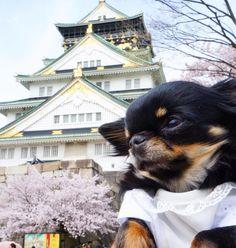今日もお花見 大阪城満開でした Li'li'i #chihuahua #osakacastle #japan #cherryblossom…