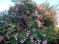 Está muy bonito el rosal