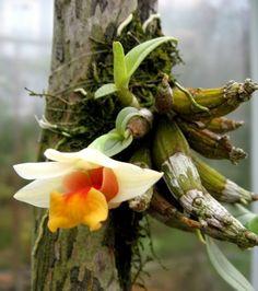 Dendrobium bellatulum flowering in January.