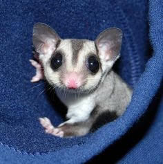 Marsupial in the hood Sugar Glider Cute Baby Animals, Animals And Pets, Funny Animals, Sugar Bears, Australian Animals, Tier Fotos, Cute Creatures, Fauna, Exotic Pets