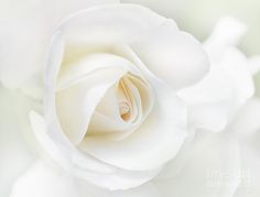 the-white-rose-flower-jennie-marie-schell.jpg (900×683)