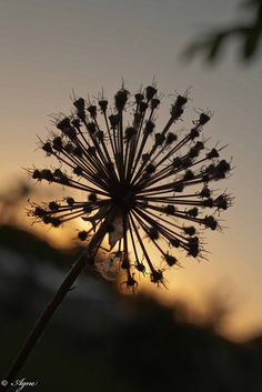 like the effect of the sun behind it. thinking i could add that to my dandelion tattoo i have